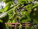 红阳猕猴桃高产种植技术怎样种植红阳猕猴桃才高产猕猴桃种植视频