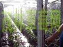 草莓高产种植管理视频