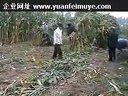 玉米秸秆青贮饲料养羊技术致富经养牛视频