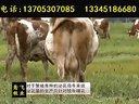 发酵床养牛技术秸秆养牛饲养技术视频