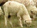 养牛技术大全24集(育肥牛羊的品种选择及设施建设)_标清