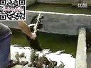 黄颡鱼养殖技术_标清视频