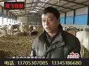 牛也住上发酵床肉牛养殖技术视频