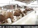 青贮饲料养牛技术秸秆养牛利润肉牛养殖场视频