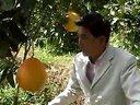 福建平和正金桔蜜柚视频