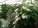 葡萄种植技术_标清视频