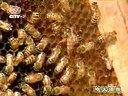 蜜蜂养殖技术1-2视频
