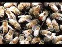 养蜂技术养蜂技术培训光盘蜜蜂养殖技术大全视频