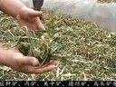 秸秆青贮养牛技术肉牛品种选育技术视频