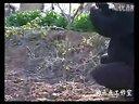 大樱桃矮化密植修剪技术_标清视频