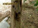 2014年7月,德胜农林清香核桃树溃疡和腐烂病的夏季防治方法视频
