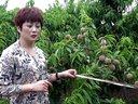 睢县火鸭养殖视频