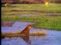 雄虎喷尿划分领地 猎水鹿遭鳄鱼抢食