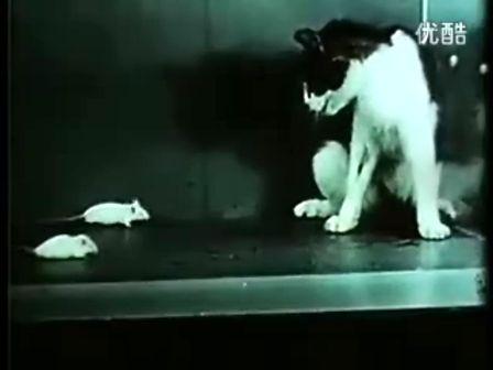 美国陆军化学实验:让猫瞬间害怕老鼠