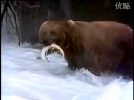 Sockeye Salmon 伟大的父母亲——三文鱼的繁殖征途