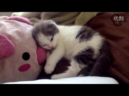 【猫咪屋】睡觉的苏格兰折耳猫
