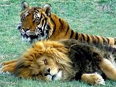 老虎 10个视频