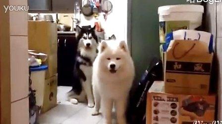 由于经常被家里的狗一拥而上扑倒,台湾网友将家里的汪训练成这样了