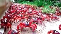 超大规模红蟹大军迁徙奇观
