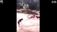 5条狗vs巨型眼鏡蛇 血腥厮杀