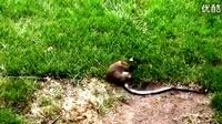 蛇要吃掉小兔子,兔子妈妈看到后毅然跟蛇拼命,把蛇吓跑了!