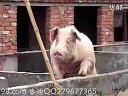 高效速成养猪技术系列02_养猪技术视频_科学养猪技术