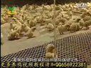 乌鸡养殖技术视频-养鸡技术