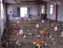 蛋鸡鸡场鸡舍消毒与鸡病防疫-养鸡技术视频10