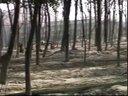 129桑叶养鸡桃树种植视频