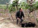 葡萄树猕猴桃树绑枝卡--果农朋友的好帮手!!!视频