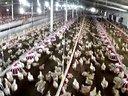 养鸡设备视频水线料线鸡养殖设备临沂市普惠农牧