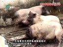 博罗县溪湖巴马香猪综合养殖场网络2