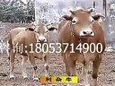 农村养牛技术利木赞牛养殖技术视频