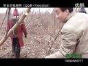 江苏山东两地果友在费县探讨桃树Y形整形修剪技术_标清视频