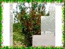 华都八棱海棠苗木-八棱海棠树视频