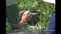 日本把西瓜變成了方形: 每個賣1000元, 常溫能放半年?