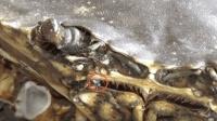 是心跳還是信號的傳遞! 螃蟹嘴里為什么會產生強光? 科學家都無法解釋的詭異現象!