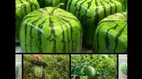 日本發明的方形西瓜 原來是種植的切開后出乎意料