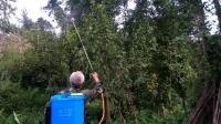 喷雾器里灌满药水 去给李子树喷农药