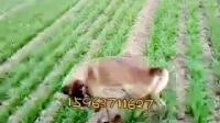 馬犬價格多少錢一只【今日資訊】