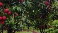 從化灌村雙殼淮枝,上市時間七月份到八月10號
